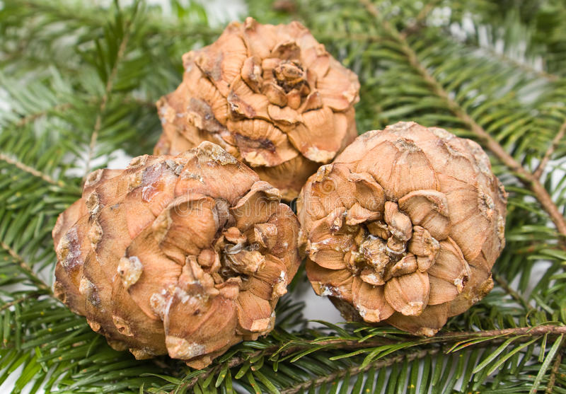 Three pine cones royalty free stock image