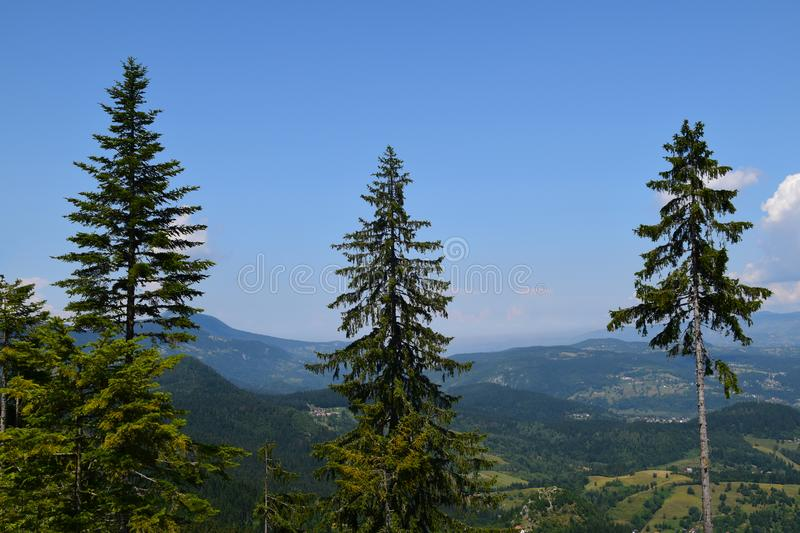 Three pine trees against a blue sky. On a summer day. Beautiful panorama on mountains and forests royalty free stock images