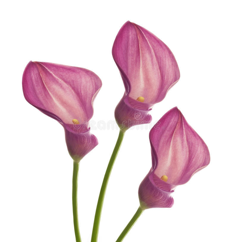 Three pink callas flower. Three callas isolated on white royalty free stock image