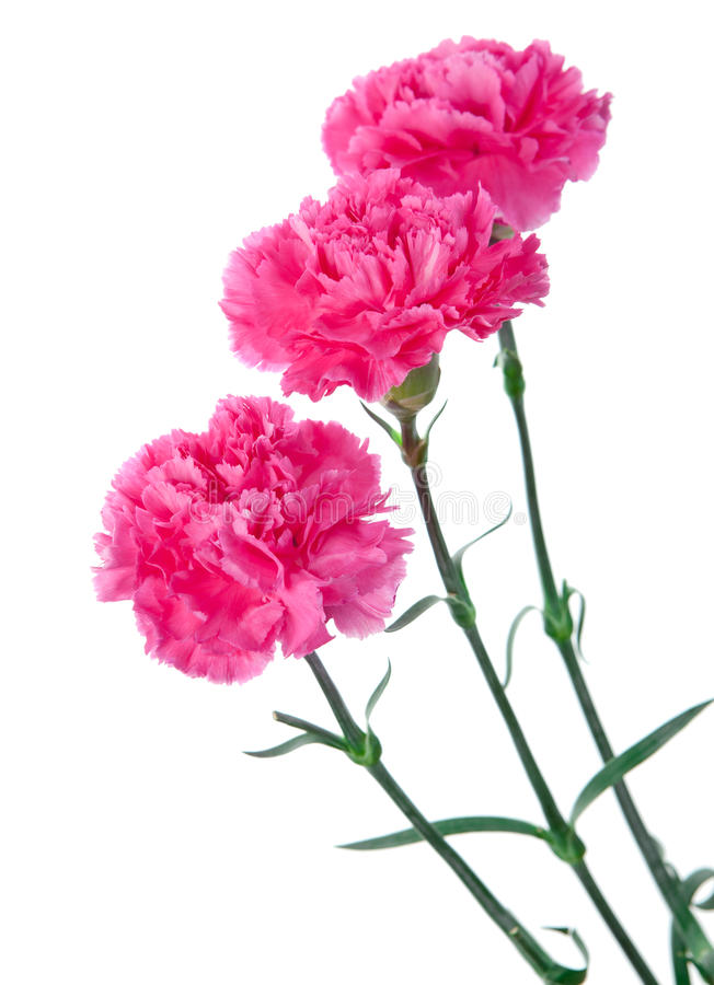 Three pink carnations. Still-life on a white background stock photos