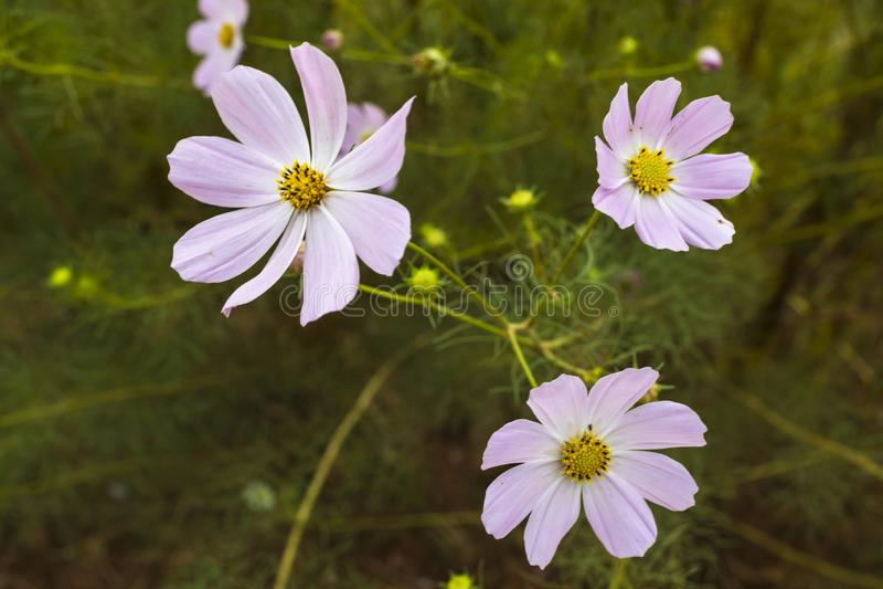 Three pink cosmos flowers royalty free stock photo
