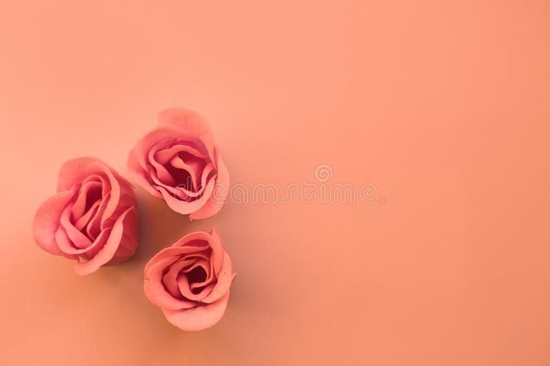 Three pink roses on coral background with copy space stock images