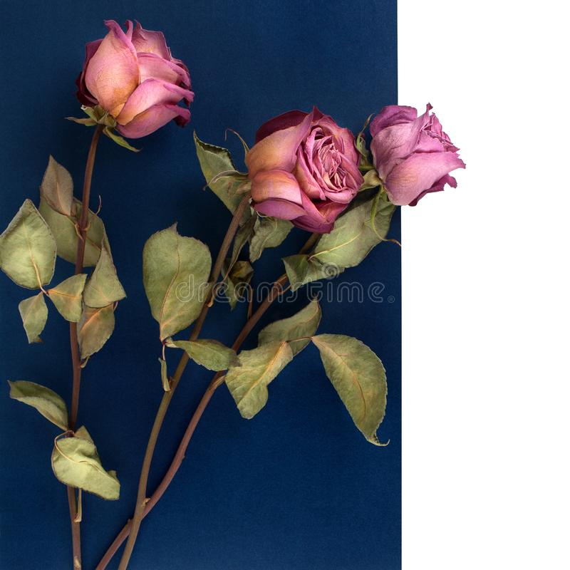 Three pink roses flowers on dark blue and white background isolated close up, layout for greeting card, festive border, holidays b royalty free stock image