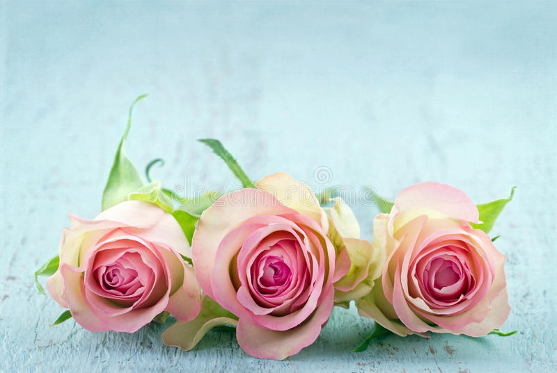 Three pink roses on light blue background stock photography