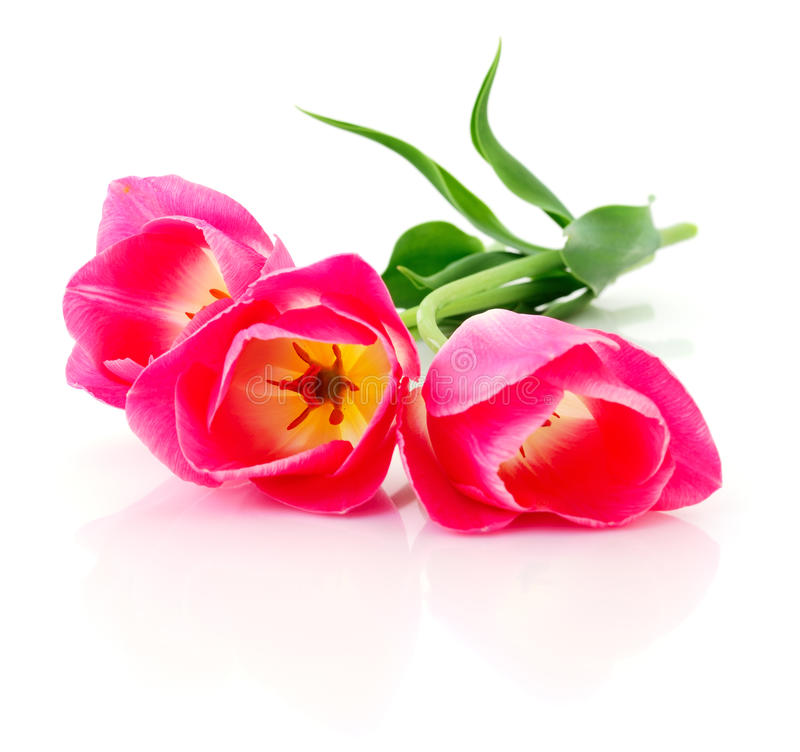 Three pink tulips. royalty free stock photography