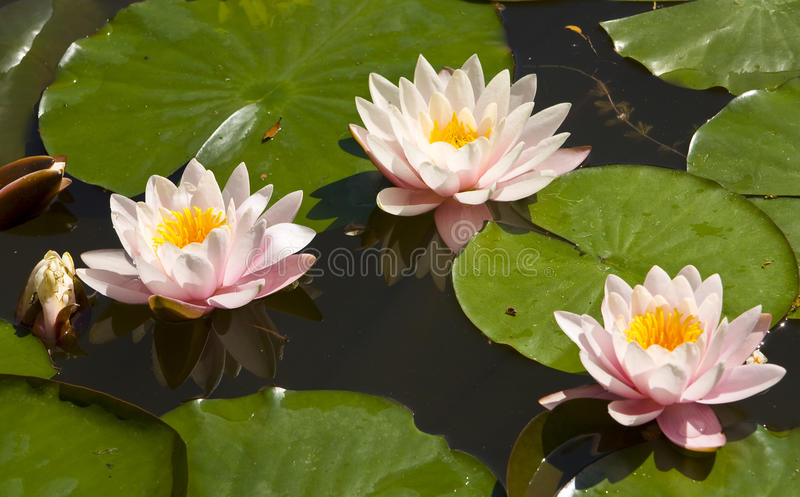 Three pink water lilies stock photography