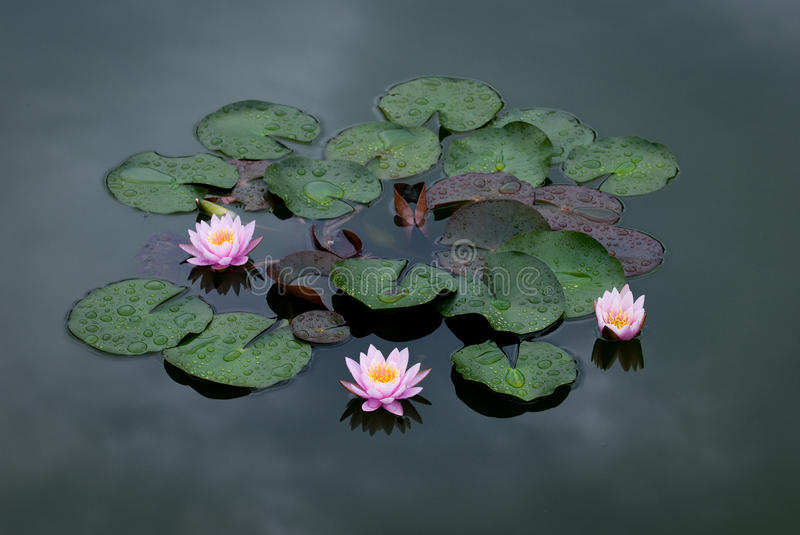 Download Three Pink Water Lily stock image. Image of lily, background - 10384269