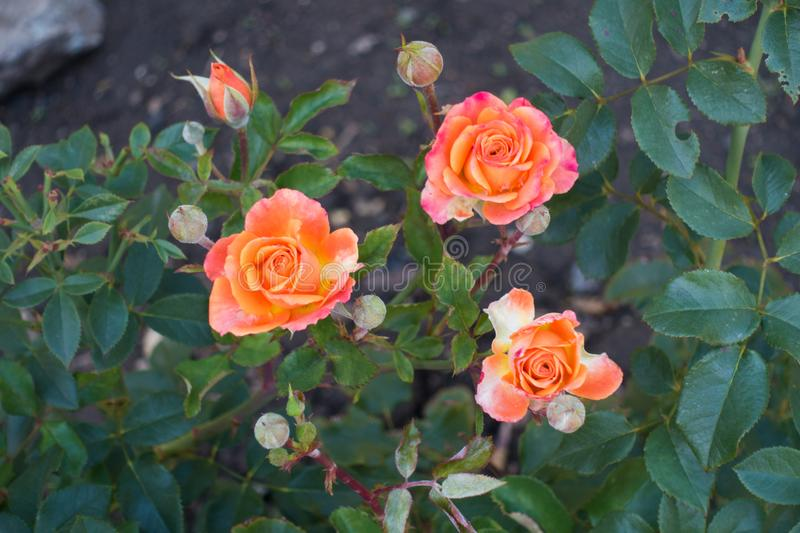 Three pink and yellow garden roses in october. Three pink and yellow garden roses in mid october royalty free stock images