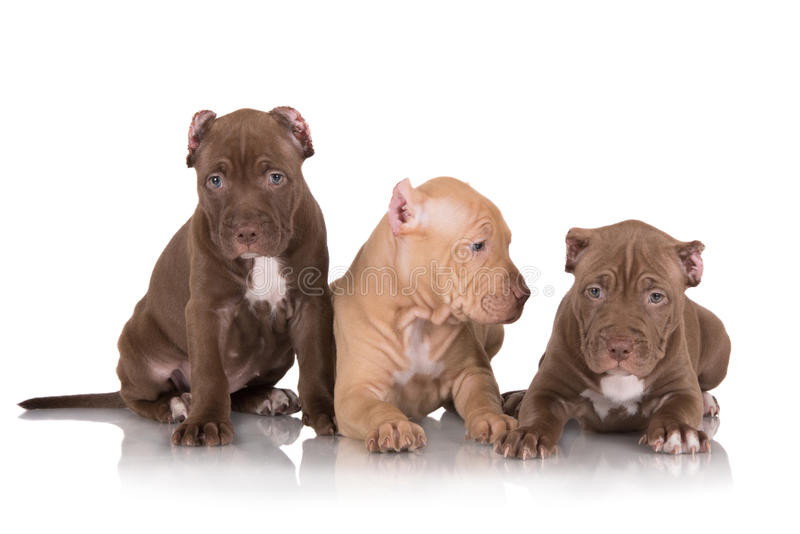 Three pit bull puppies with cut ears stock photography