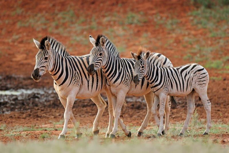 Plains zebras in natural habitat. Three plains zebras Equus burchelli in natural habitat, South Africa royalty free stock images