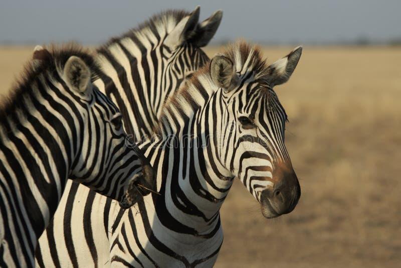 Three Plains Zebras stock photography