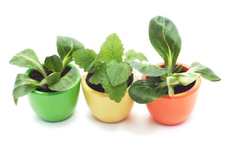 Three plants in varicolored ceramic cups. stock photo