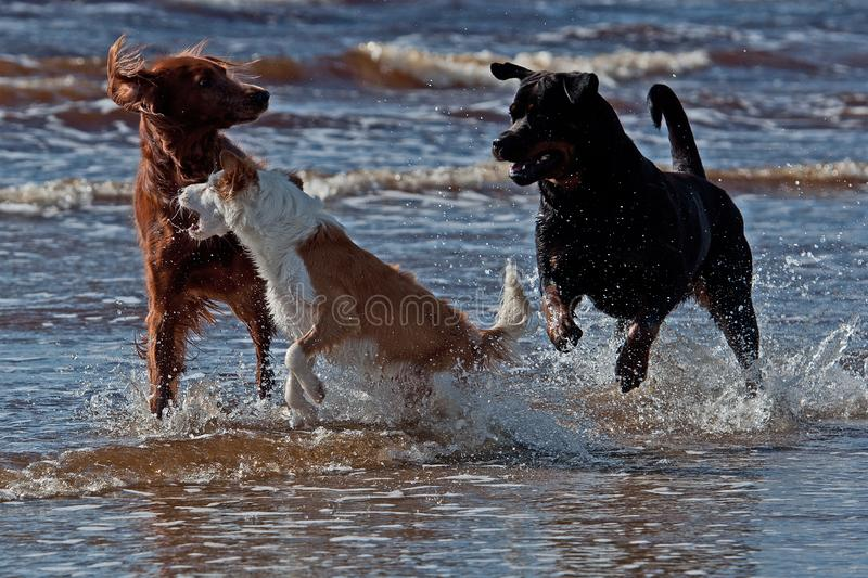 Three playful dogs on the beach. Three of strange dogs meet and begin playing on the beach ...Red Irish Setter Rottweiler and a Breton dog royalty free stock photography