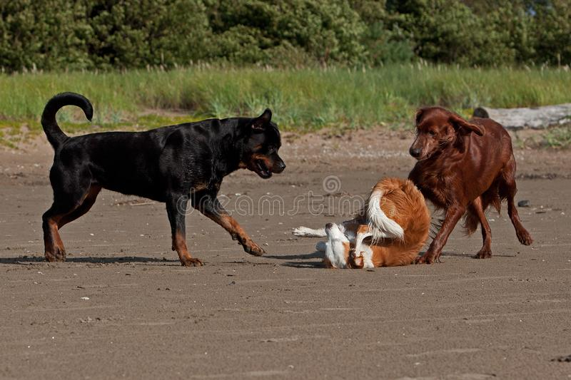 Three playful dogs on the beach. Three of strange dogs meet and begin playing on the beach ...Red Irish Setter Rottweiler and a Breton dog royalty free stock image