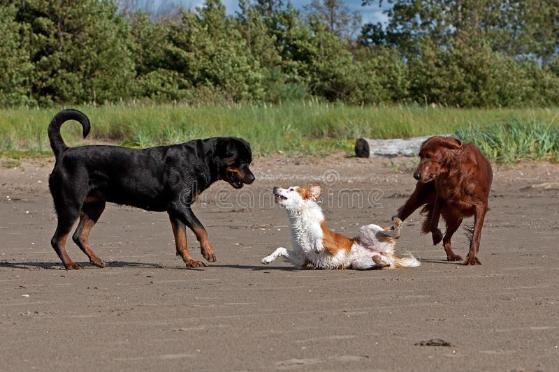 Three playful dogs on the beach. Three of strange dogs meet and begin playing on the beach ...Red Irish Setter Rottweiler and a Breton dog stock images