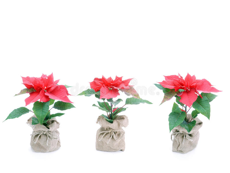 Download Three Poinsettia Flowers Stock Image - Image: 22800461