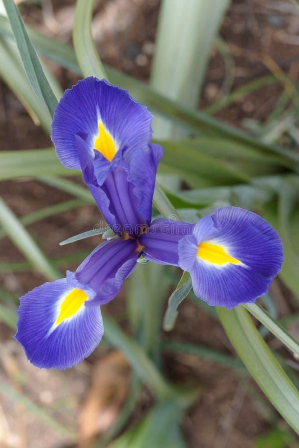 Free Three-pointed Star Of Purple Iris Flower Royalty Free Stock Photo - 19421875