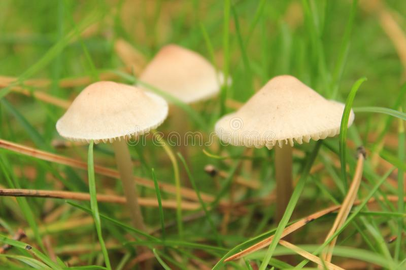 Three poisonous mushroom toadstools in the shape of umbrellas royalty free stock images