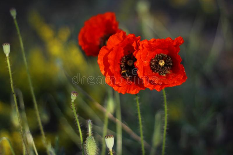 Three poppies flowers in the wheat field royalty free stock images