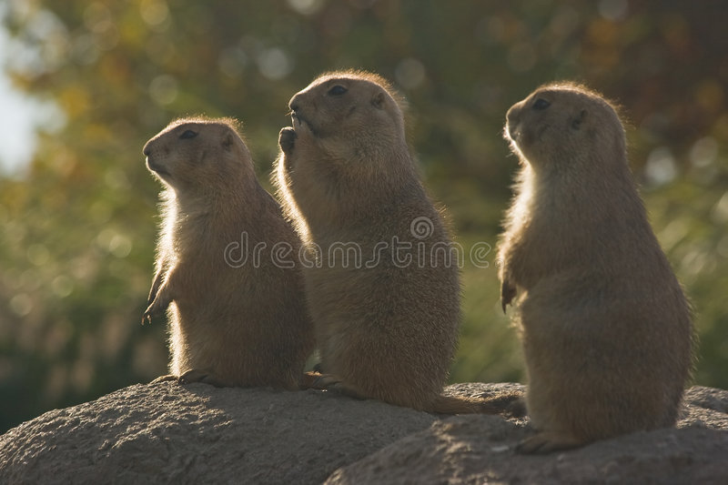 Three Prairiedogs. Are sitting in the early morningsun royalty free stock photography