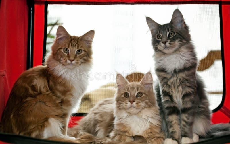 Three maine coon kittens stock image