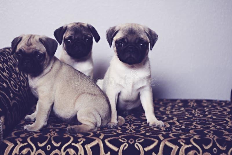 Three pugs on a pattern. Shot of three pugs on a pattern stock photo