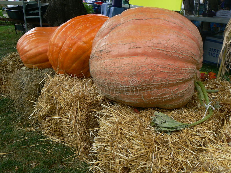 Three pumpkins in a row royalty free stock photo