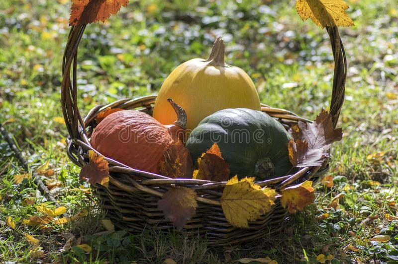 Three pumpkins in wicker basket, yellow spaghetti pumpkin, green muscat pumpkin and orange hokkaido pumpkin, autumn leaves royalty free stock images