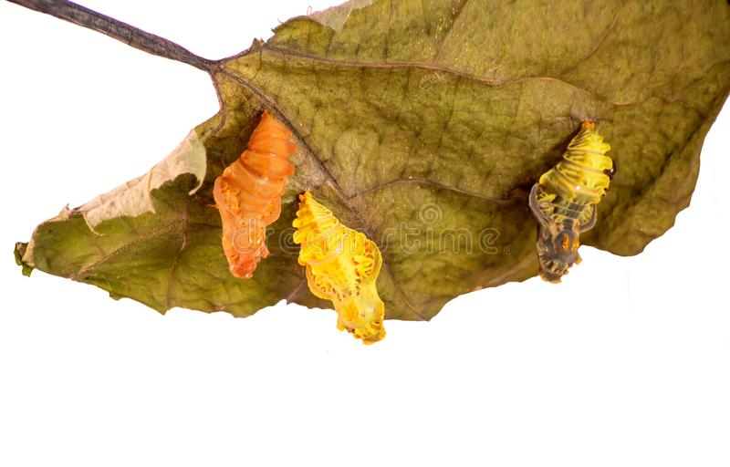 Three pupae of the Chinese windmill butterfly on a leaf, young, mature and empty stock image