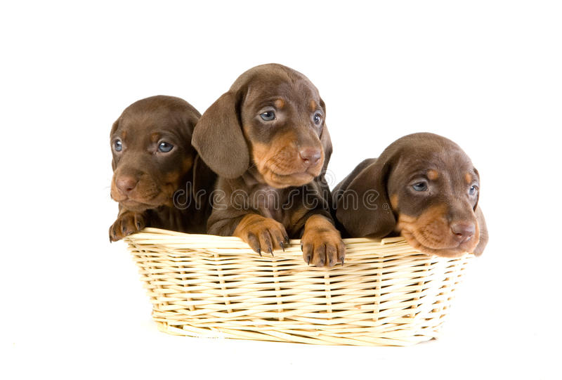 Three puppies in a basket royalty free stock image