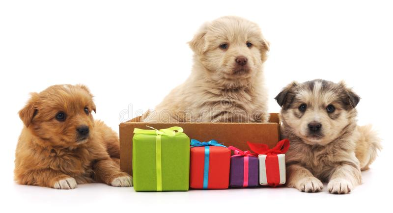 Three puppies with gifts. Three puppies with gifts on a white background royalty free stock images