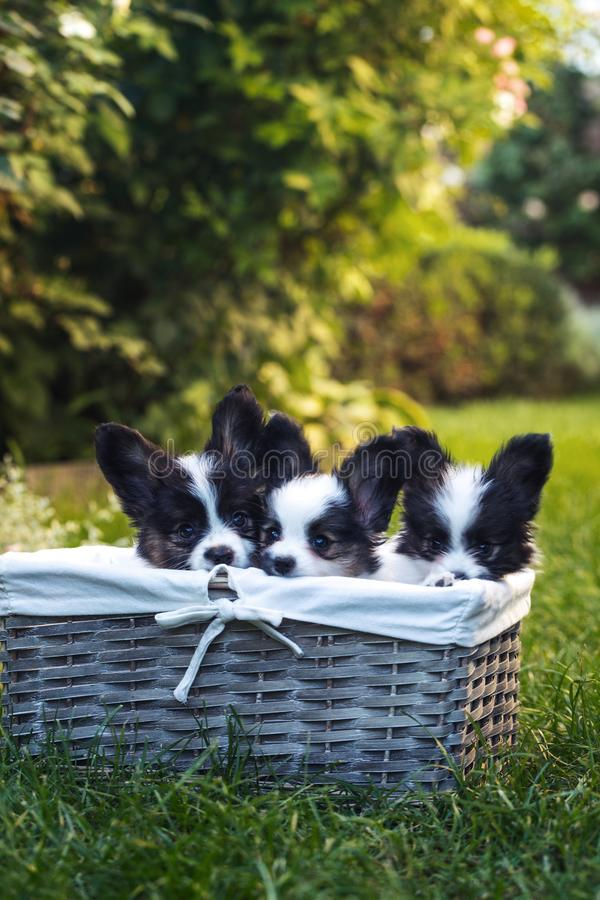 Three puppies hid in a basket. Beautiful puppies of the Papillon breed in the summer garden stock images