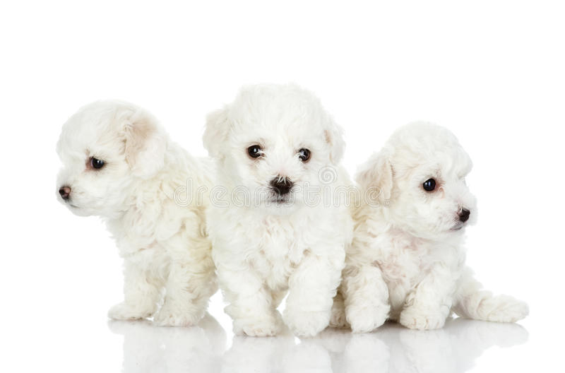 Three puppies of a lap dog. royalty free stock photography