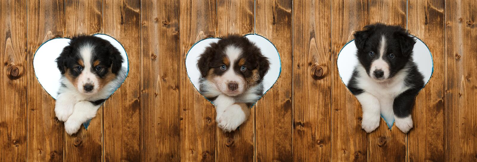 Three puppies. Puppies looking out of hearts in a wall stock photo