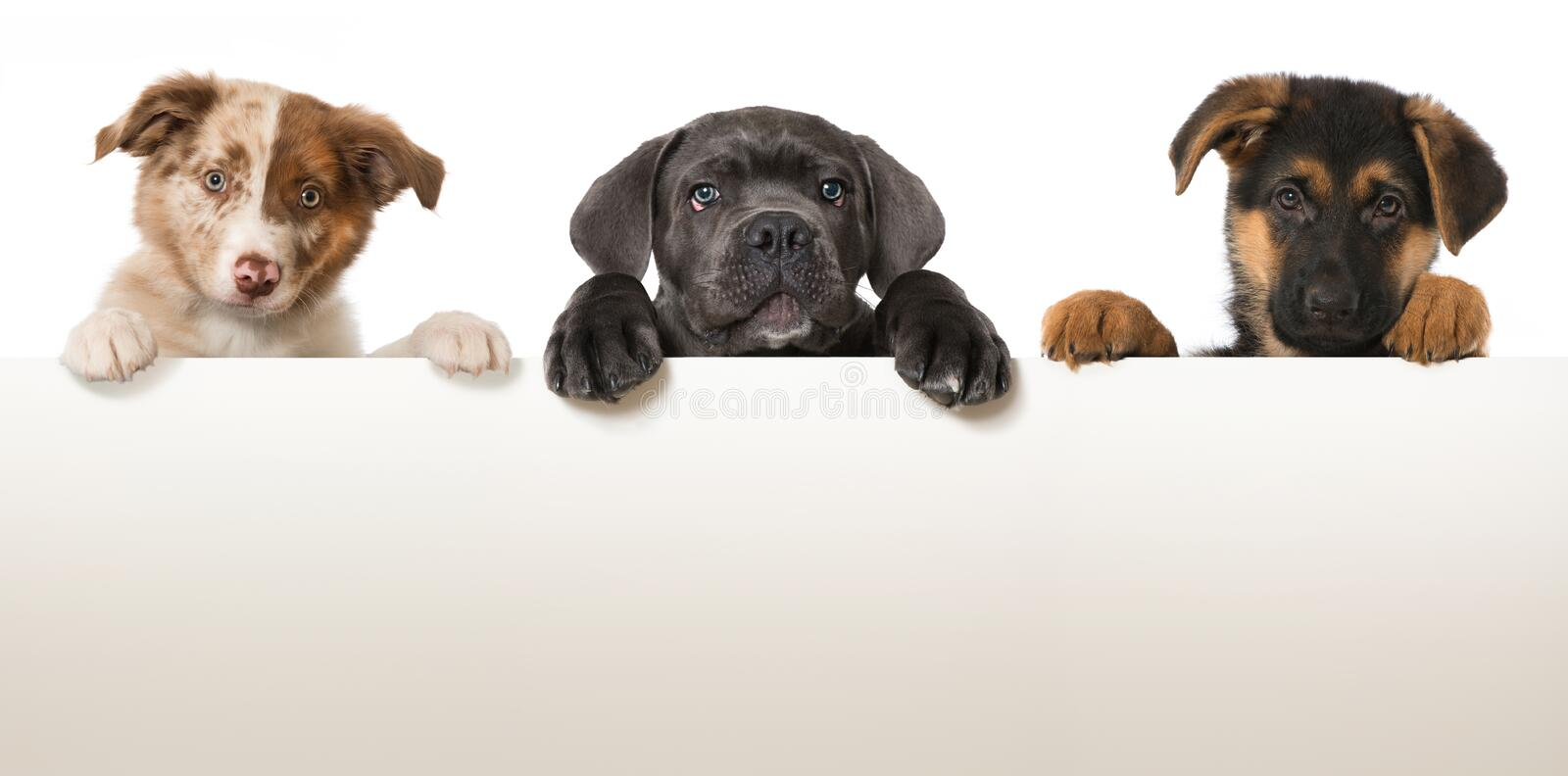 Three puppies. Looking over a wall stock photo
