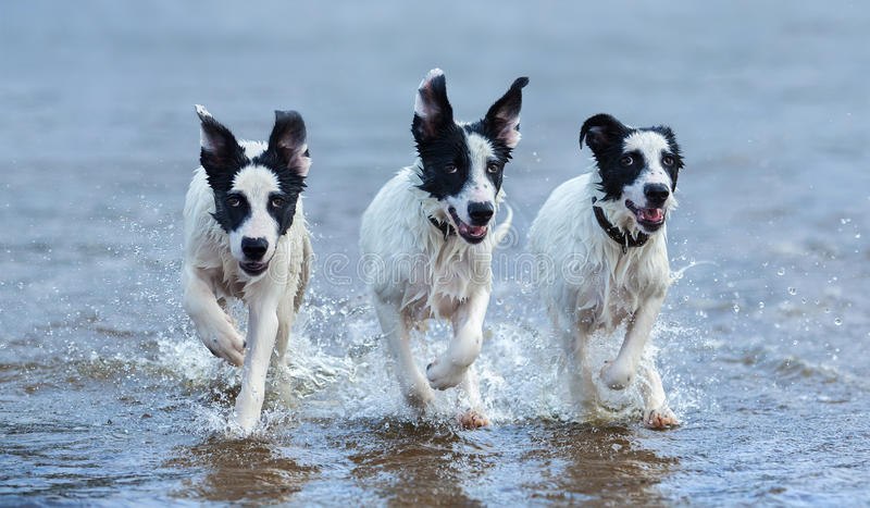 Three puppies of mongrel running on water. royalty free stock photos