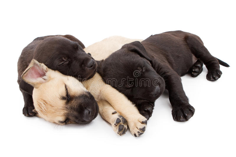Three puppies taking a nap together stock photography