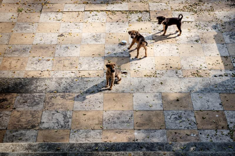 Three puppies on a tiled floor looking like a chess board. Alappuzha, Kerala, India royalty free stock image