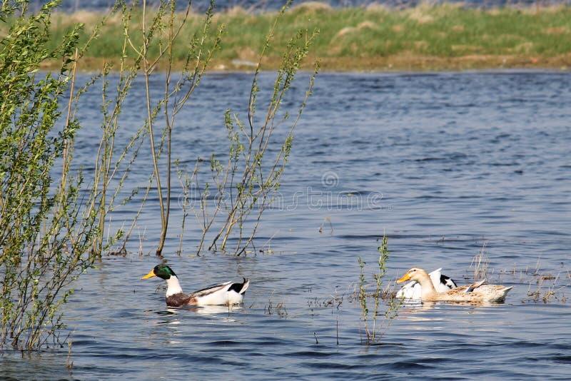 Three purebred domestic ducks afloat. In summer stock photo