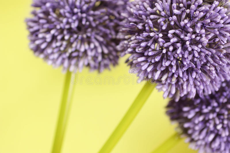 Three purple Alium flowers. On a yellow background royalty free stock photo