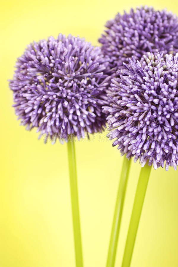 Three purple Alium flowers. On a yellow background stock photography