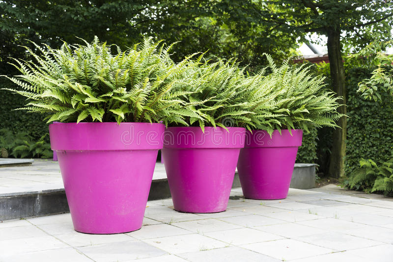 Three Purple Vases With Green Plants Stock Image Image Of Trees