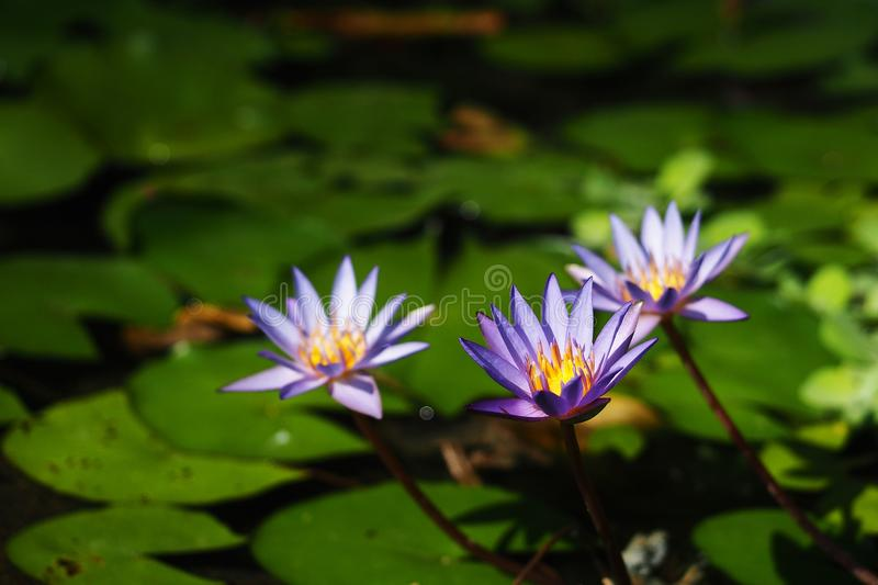 Three purple water lily blooming in the pond. Three purple water lily are blooming in the pond under  the sunshine stock image