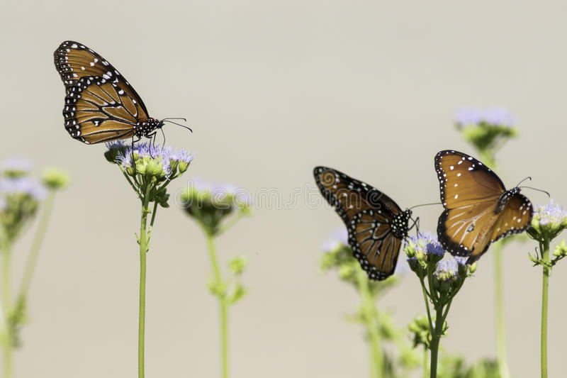 Three Queen Butterflies perched on flowers with tan background royalty free stock photo