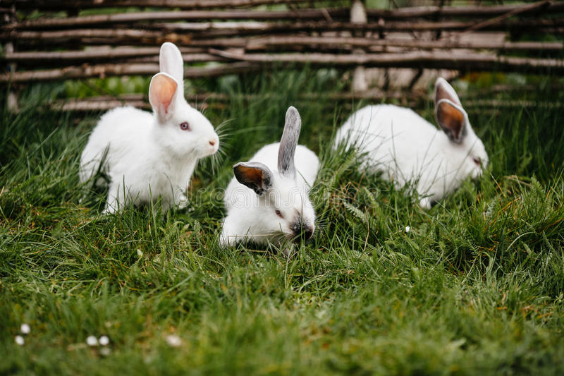 Three rabbits in green grass. On the farm stock images