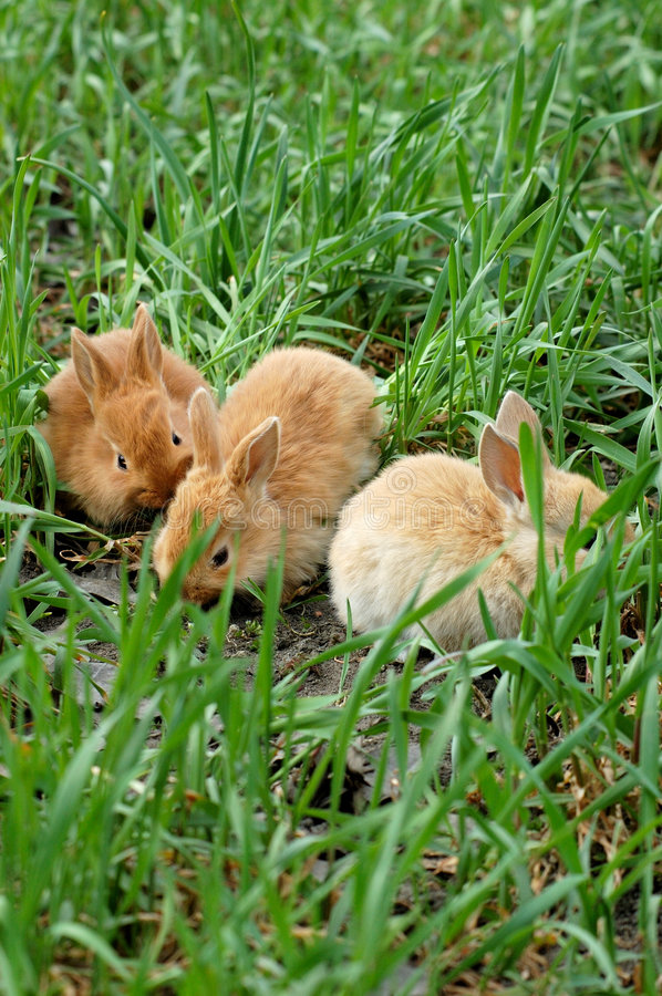 Free Three Rabbits Landing On Grass Royalty Free Stock Images - 4432689