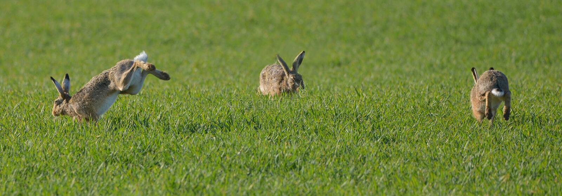 Three rabbits royalty free stock photography