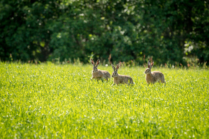 Three rabbits running around the field stock photo