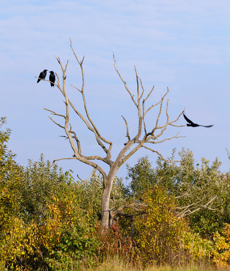 Three Ravens Royalty Free Stock Images