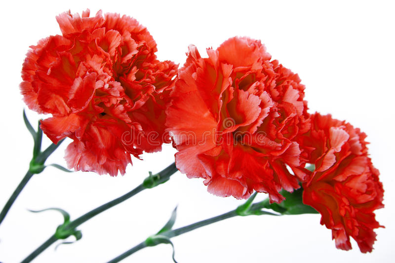 Three red carnation on a white background stock image